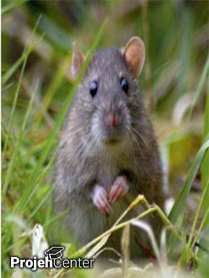 بررسی اثر ملاتونین در زخم معده ناشی از اتانول در موش صحرایی